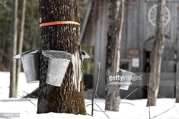 maple trees in spring, cabane a sucre syrup