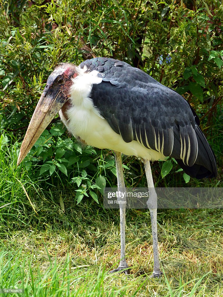Marabou Stork closeup : Stock Photo