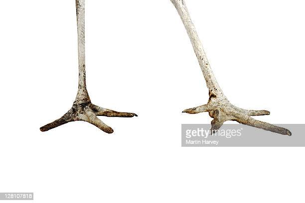 Marabou Stork. (Leptoptilos crumeniferus). In studio. Distribution: Africa south of the Sahara.