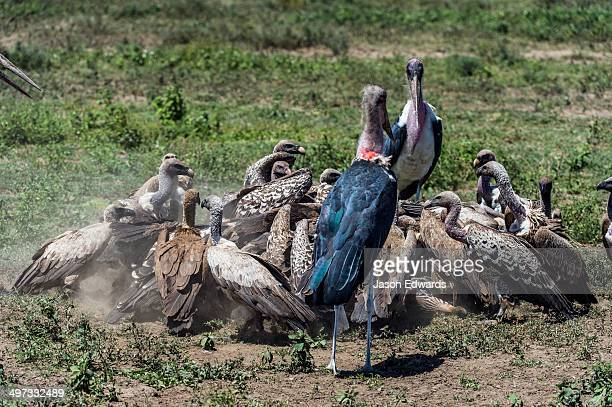 Marabou storks and Ruppell's vultures in a feeding frenzy on a zebra foal carcass on the dusty savannah.