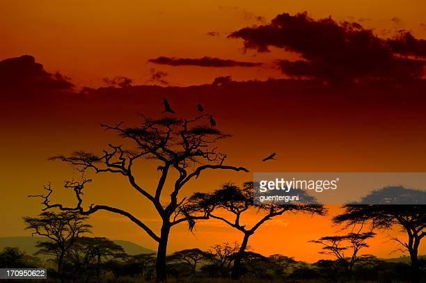 Marabou コウノトリホールの木の夕暮れ、セレンゲティ、アフリカ