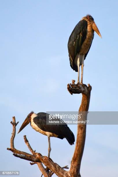 Marabou storks on a dry tree