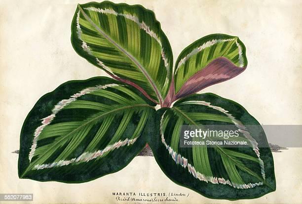 Maranta Illustris Brazil Amazonas Illustration by P Stroobant and lithograph by L Stroobant from 'Revue de l'Horticulture Belge et Etrangère' Ghent...