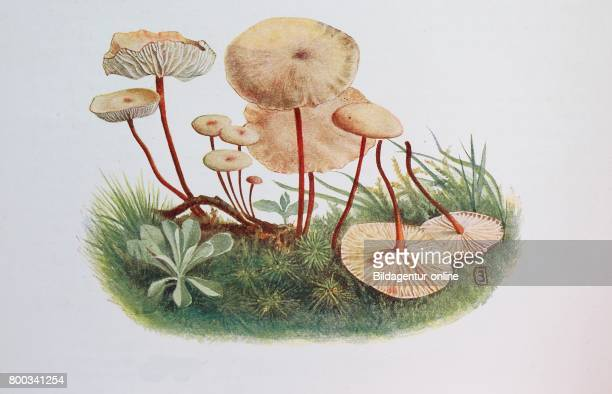 Marasmius alliaceus commonly known as the Garlic Parachute digital reproduction of an ilustration of Emil Doerstling