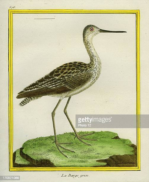 Marbled Godwit Limosa fedoaMarbled GodwitGeorgesLouis Leclerc Comte of Buffon 'Natural History of birds fish insects and reptiles' coloured and...