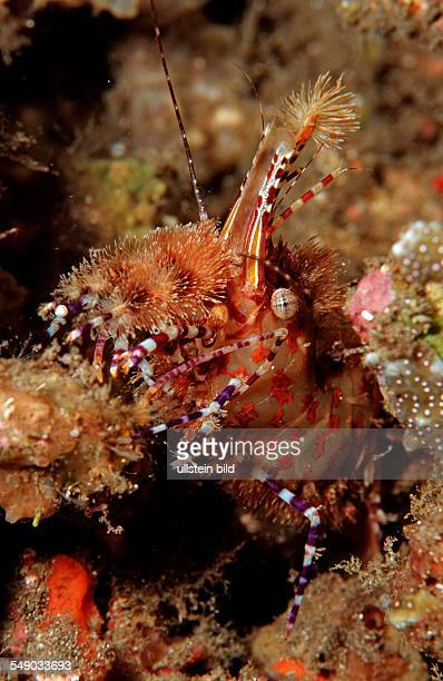 Saron Stock Photos and Pictures Getty Images : marbled shrimp saron sp komodo national park indian ocean indonesia picture id549033693s612x612 from www.gettyimages.fi size 398 x 612 jpeg 49kB
