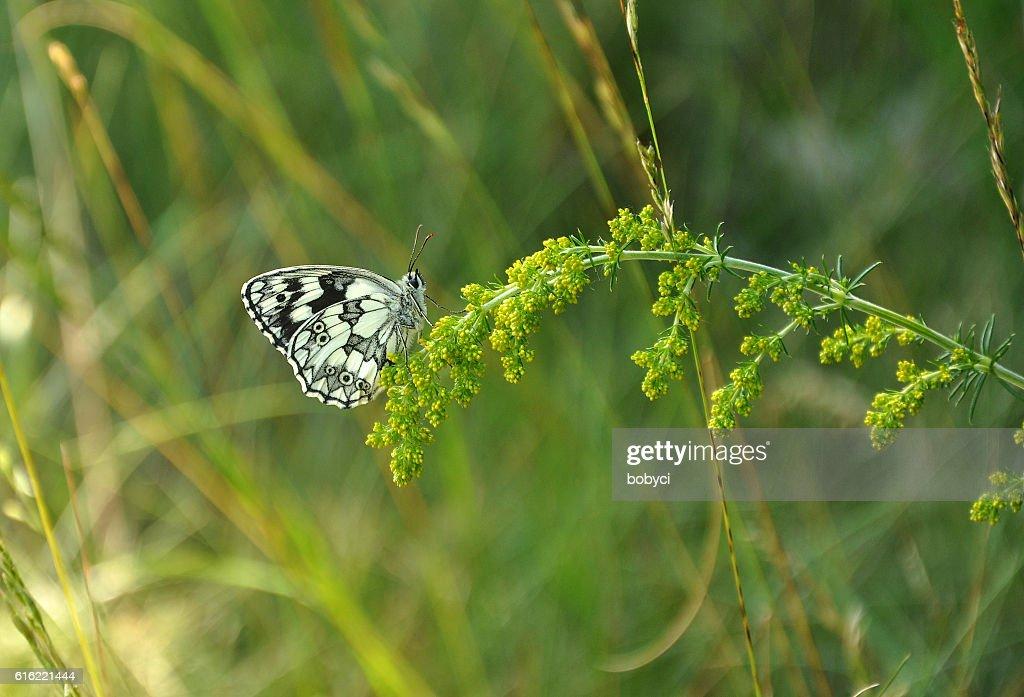 marbled white (Melanargia galathea) : Stock Photo