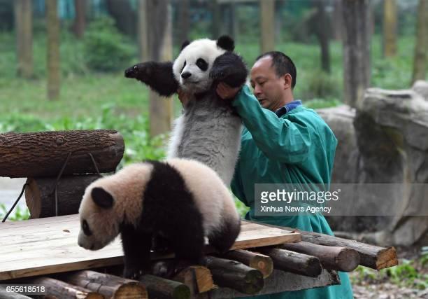 CHONGQING March 18 2017 A zoo keeper lifts Yu Bei to Liang Yue at Chongqing Zoo in Chongqing southwest China March 18 2017 The names were revealed at...