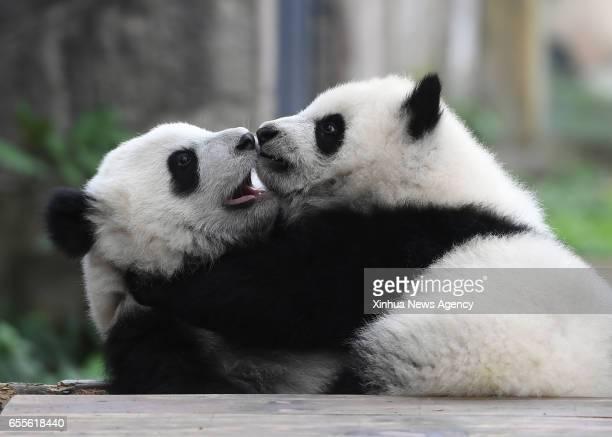 CHONGQING March 18 2017 Giant panda cubs Yu Bao and Yu Bei play at Chongqing Zoo in Chongqing southwest China March 18 2017 The names were revealed...