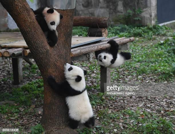 CHONGQING March 18 2017 Giant panda cubs Yu Bao Yu Bei and Liang Yue meet the public at Chongqing Zoo in Chongqing southwest China March 18 2017 The...