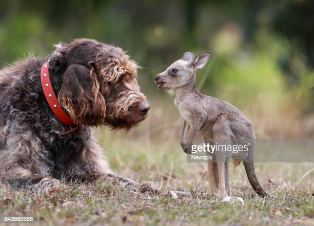 March 28 2008 Rex the 10 year old German pointer cross has rescued a 4 month old joey kangaroo after its mother was killed by a car at Bells Beach...