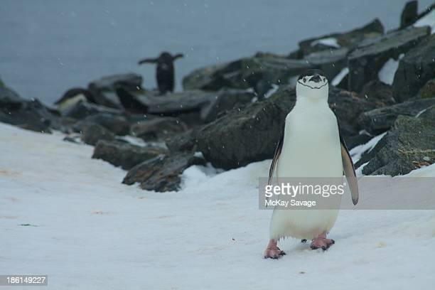 March of the Chinstrap Penguins, Antarctica