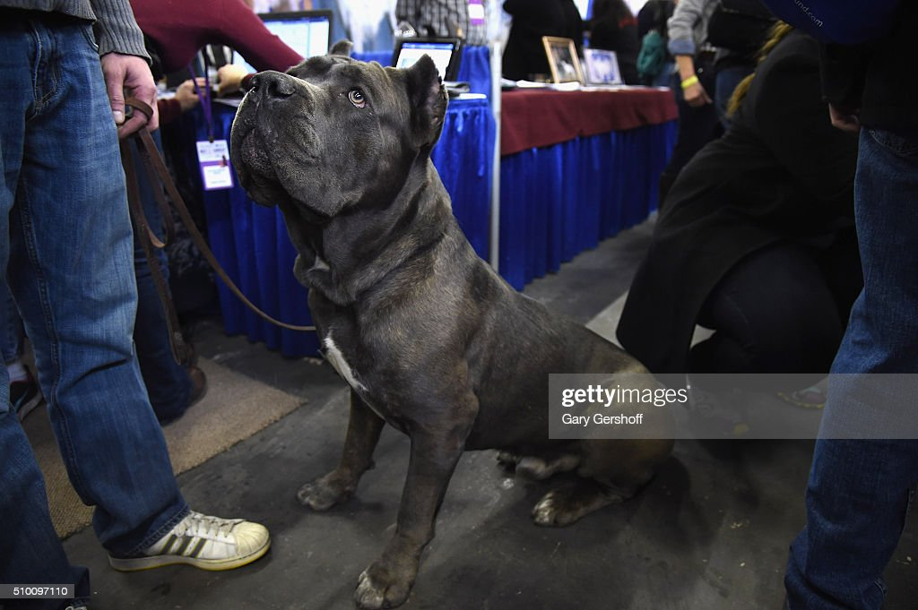 Marcus, a four year old male Cane Corso attends the 7th Annual AKC Meet The Breeds at Pier 92 on February 13, 2016 in New York City.