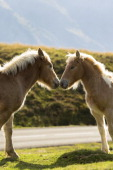 Mare and foal horses rubbing noses in Vallee d'Ossau near Laruns in Parc National des Pyrenees Occident France