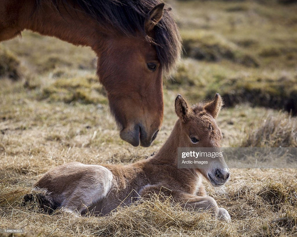 Mare and foal : Stock Photo