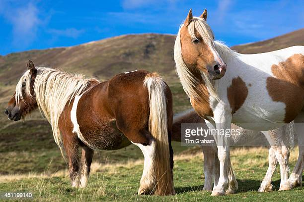 Mare and foal skewbald paint horses in Vallee d'Ossau near Laruns in Parc National des Pyrenees Occident France