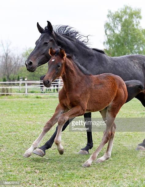 Mare and her foal galloping
