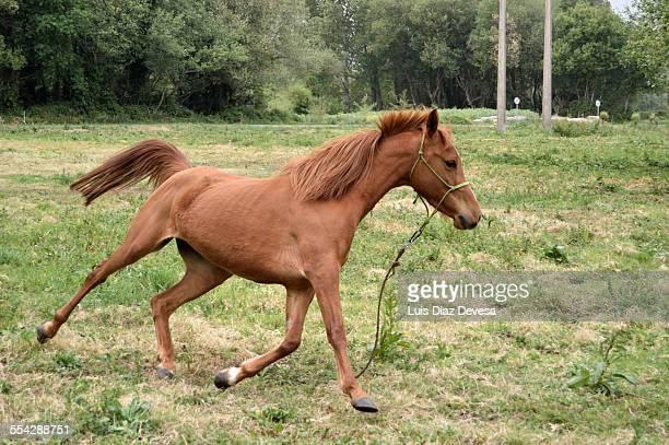 Mare galloping