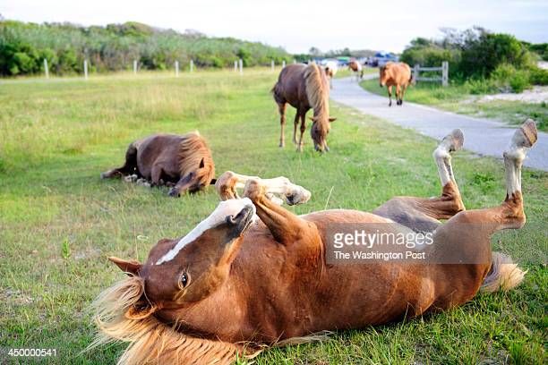 A mare rolls in the grass with her band near the entrance to the 'Life of the Dunes Trail' at the Assateague Island National Seashore in Berlin MD on...