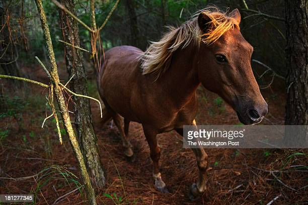 A mare trots to catch up to the rest of her band in the forest at the Assateague Island National Seashore in Berlin MD on the morning of August 20...