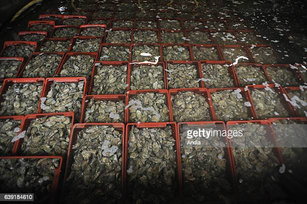 Freddy Privat's oyster company Taheron Oyster after refining in the oyster beds overflow groove before the cleaning and grading of the oysters