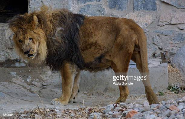 Margan a blind 38yearold male lion walks at the Kabul Zoo January 3 2002 in Afghanistan He is one of the few attractions left at the run down zoo...