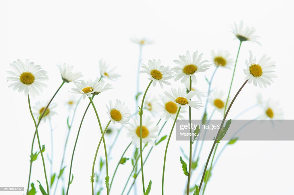 Marguerite blossoms, white background