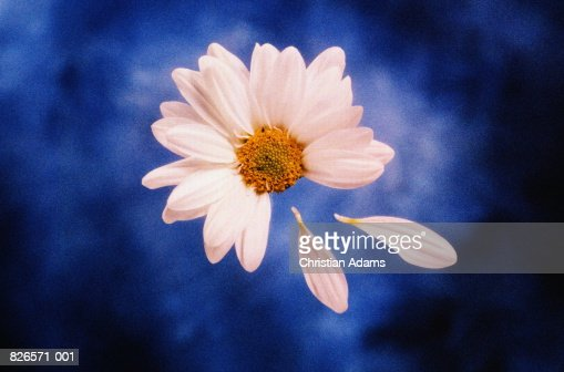 Marguerite flower (Chrysanthemum frutescens) with petals picked off : Stock Photo