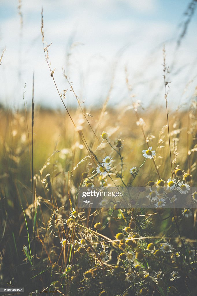 Marguerite [Leucanthemum vulgare] in summer : Stock Photo