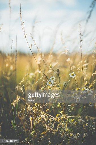 Argyranthemum frutescens [ Leucanthemum vulgare ] in estate : Foto stock
