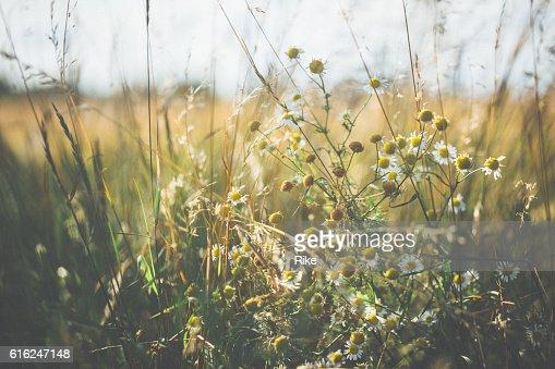 Marguerite [Leucanthemum vulgare] in summer : Stock Photo