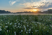 Marguerites on a meadow in spring at sunrise. At Bayreuth, Germany, Wilhelminenaue