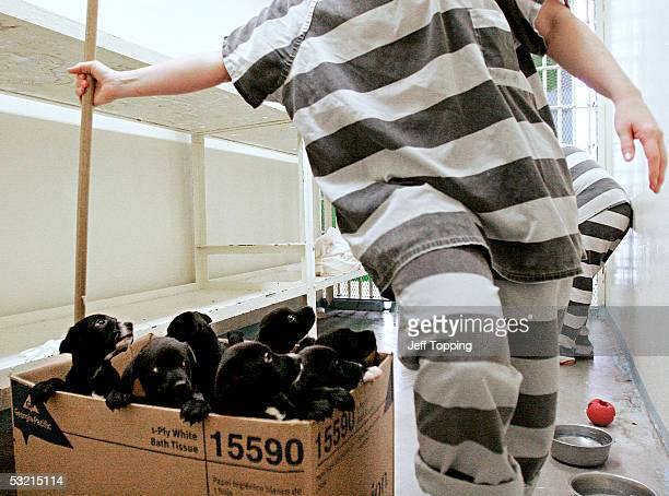 Maricopa County Jail inmate walks by this boxful of pups born to in the Maricopa Animal Safe Hospice to Precious a Labrador mix July 5 2005 in...
