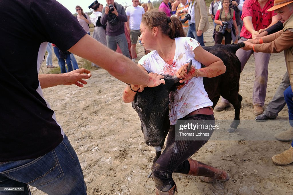 Marie Segretier (18) help to wrangel the young bulls and to brand them on May 26, 2016 in Saintes-Maries-de-la-Mer near Arles, France. Traditional horsemen, so called Guardians, celebrate the day in memory of theMarquis de Baroncelli and show tourist how they work. Marie works with horses and is the only 'cow girl' in the area of Staintes-Maries-de-la-Mer (Camargue). She started with 5-6 years.
