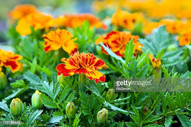 Marigold Buds and  Blooms
