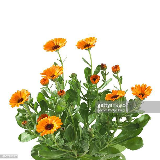 Marigold Calendula officinalis flowers