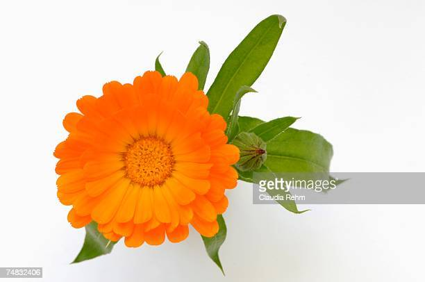 Marigold (Calendula officinalis), close-up, overhead view