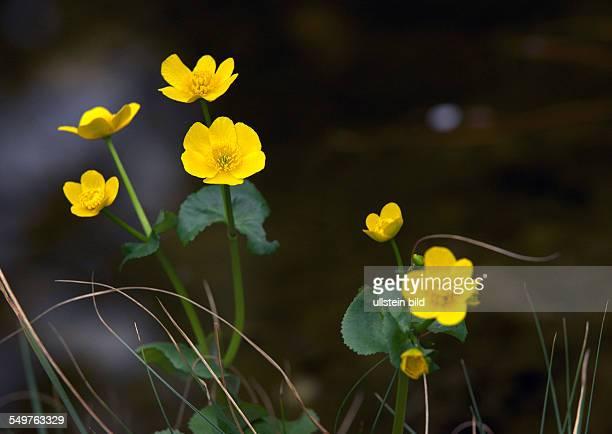 Marigold flower on a pond