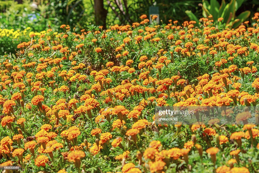 Marigold flowers : Stock Photo