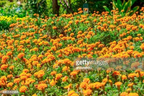 Marigold flowers : Stockfoto