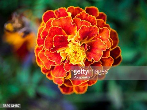 Marigold : Stock Photo