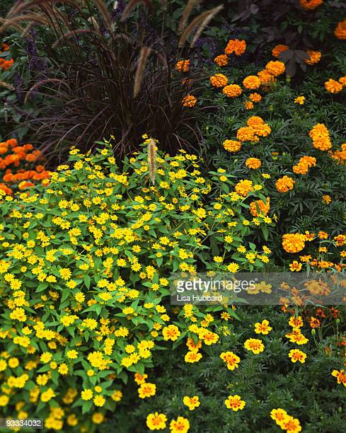 Marigolds and zinnias