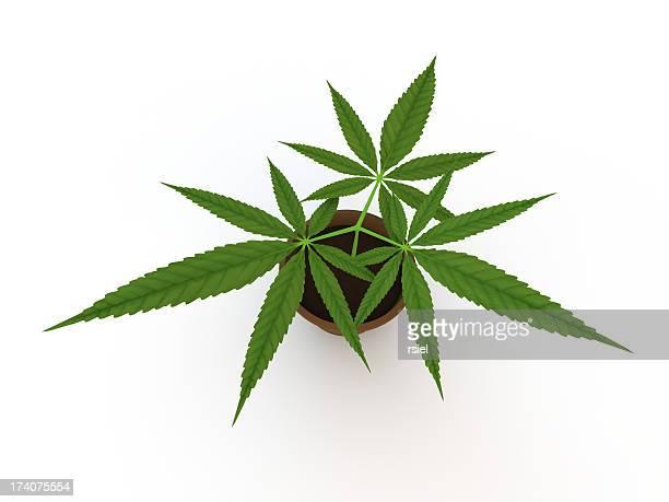 Marijuana bush isolated