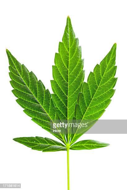 Marijuana leave
