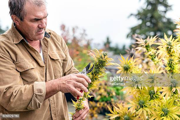Marijuana plant farmer harvesting the cannabis buds