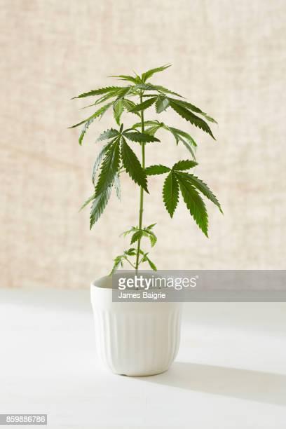 Marijuana plant growing in pot