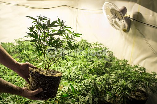 cannabis plante dans le sol lieu en face du jardin