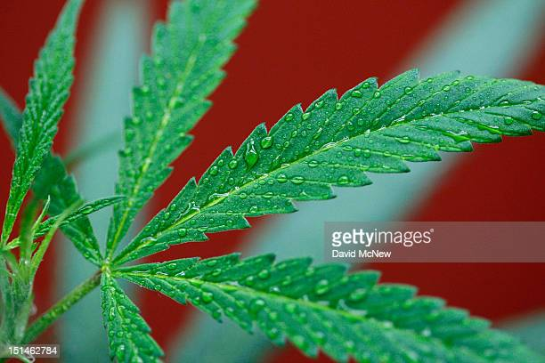 Marijuana plants grow at Perennial Holistic Wellness Center a notforprofit medical marijuana dispensary in operation since 2006 on September 7 2012...