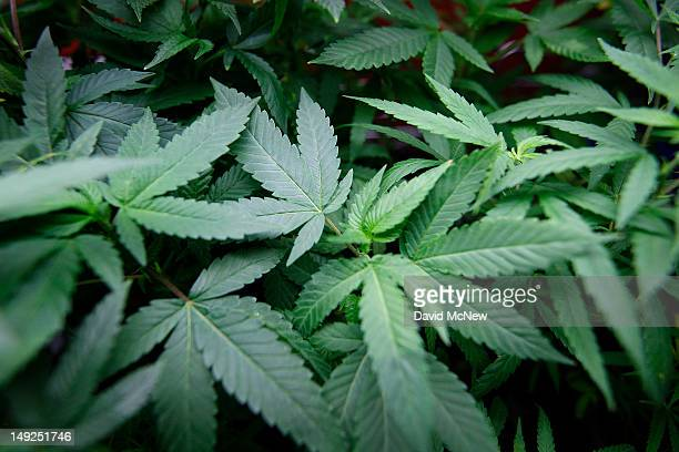 Marijuana plants grow at Perennial Holistic Wellness Center medical marijuana dispensary which opened in 2006 on July 25 2012 in Los Angeles...