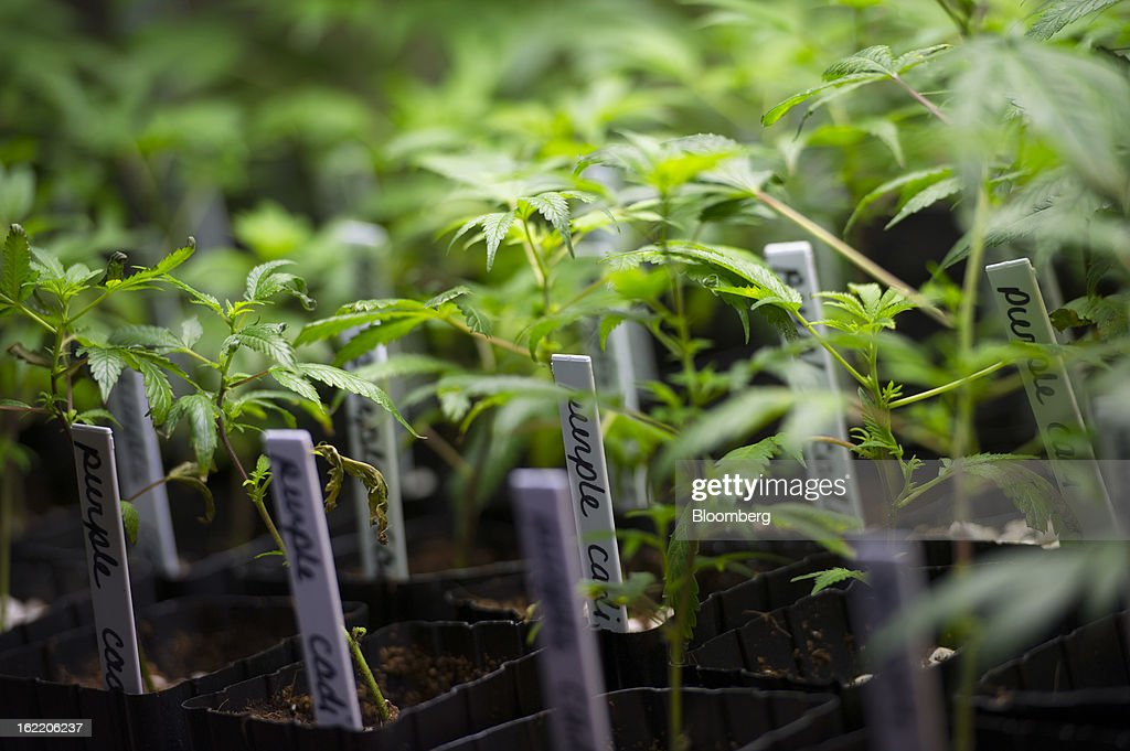 Marijuana plants grow at the MedMar Healing Center, a medical-marijuana dispensary, in San Jose, California, U.S., on Thursday, Feb. 7, 2013. San Jose is the medical-marijuana capital of Silicon Valley with 106 clinics, about twice as many per square mile as Los Angeles. Photographer: David Paul Morris/Bloomberg via Getty Images